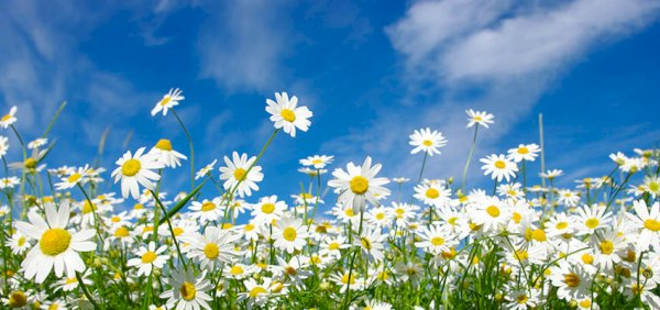 field of daisies reb